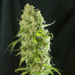 resin-seeds-cannatonic fem
