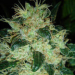 resin-seeds sour-p fem