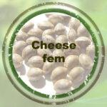 Bulk-Seeds-Cheese