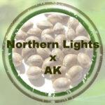 Nortehrn Lights x AK