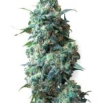 afghan-kush-white-label-seeds