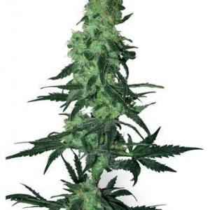 amnesia-white-white-label-seeds