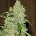 bubble-gum-regular-serious-seeds
