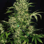 chronic-feminized-serious-seeds