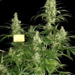 kali-mist-regular-serious-seeds
