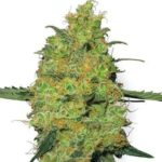 master-kush-white-label-seeds