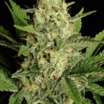 motavation-feminized-serious-seeds