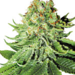 northern-lights-auto-white-label-seeds