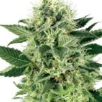 northern-lights-fem-white-label-seeds