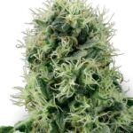 pure-power-plant-fem-white-label-seeds
