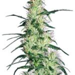 purple-haze-fem-white-label-seeds