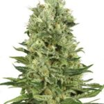 skunk-automatic-white-label-seeds