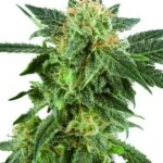 snow-ryder-fem-white-label-seeds