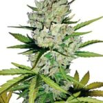 super-skunk-auto-white-label-seeds