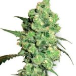 super-skunk-white-label-seeds