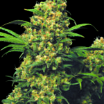 warlock-feminized-serious-seeds