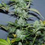 white russian autoflowering-serious-seeds