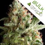 American-Pie-Pyramid-bulk-seeds