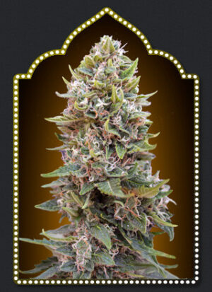 Auto Cheese Berry - OO Seeds