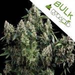 Auto-Tutankhamon-Pyramid-bulk-seeds