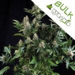 Auto-White-Widow-Pyramid-bulk-seeds