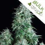 Auto-anubis-Pyramid-bulk-seeds