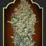 Feminized Collection 1 - OO Seeds