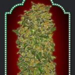 Feminized Collection 2 - OO Seeds