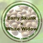Early Skunk x White Widow