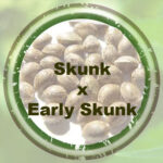 Bulk-Seeds-Skunk-x-Early-Skunk