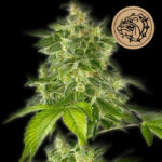Bulldog-Seeds-The-Bulldog-Haze-Auto