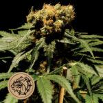 Bulldog-Seeds-The-Chronic