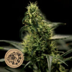 Bulldog-Seeds-Energy-Haze