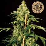 Bulldog-Seeds-Jack-Herer