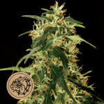 Bulldog-Seeds-Silver-star-Haze