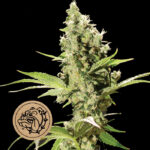 Bulldog-Seeds-Sour-Diesel