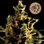 Bulldog-Seeds-The-Bulldoghaze