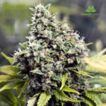 Female-Seeds-Grapefruit-4-Seeds