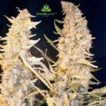 Female-Seeds-Skunk-Special