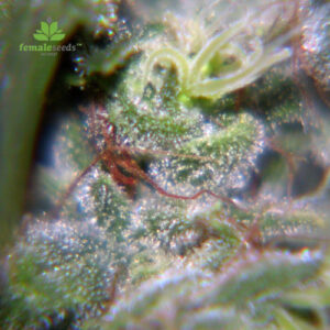 Female-Seeds-neville´s-haze