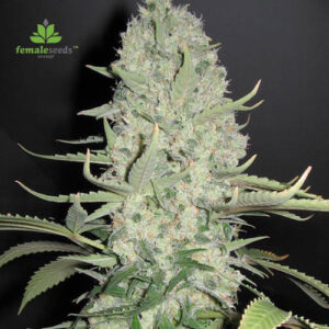 Female-Seeds-white-widow-x-big-bud