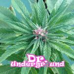 dr-underground-u-pink-kush