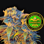 VIP_Seeds-colombian_sweet