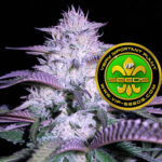 VIP_Seeds-currant_kush