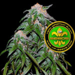 VIP_Seeds-medical_vip