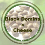 Black Domina x Cheese