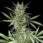 Blue Venom Feminized
