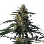 Medical-Marijuana-Nightingale-NN1