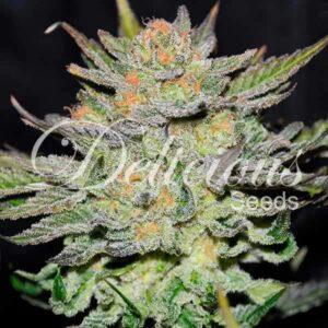delicious-seeds-blue-ace-auto-cbd