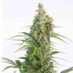 White-Widow-Autoflowering-CBD